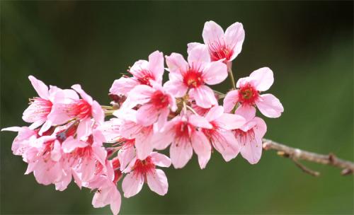 Fleur de pecher
