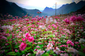 Un des champs de sarrasin sur le col Ma Pi Leng