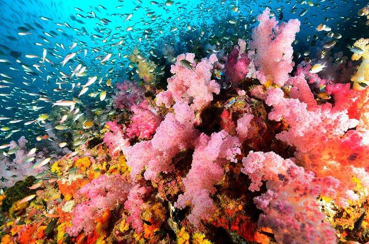 Colonie de coraux mous, îles Similan Colonie de coraux mous, îles Similan