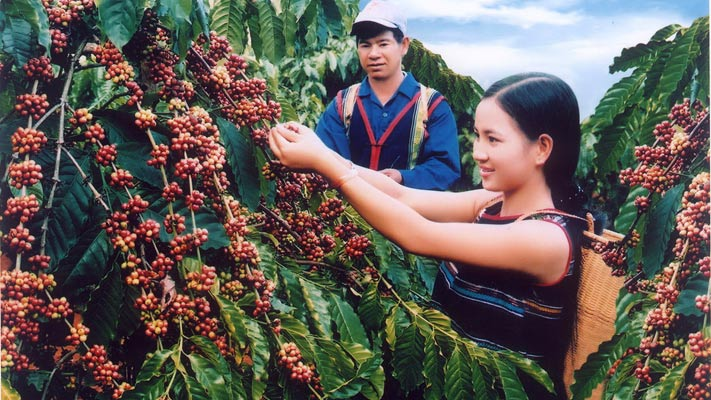 Recolte des grains de cafe