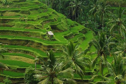Des champs de riz à Ubud, Bali.